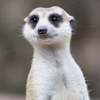 meerkat_mem